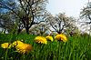 Dandelion flowers and tree blossom | Stock Foto