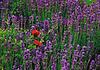 Poppies in lavender field   Stock Foto
