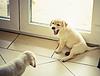 Two labrador retriever puppy | Stock Foto