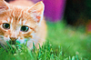 Young kitten is hunting on green grass | Stock Foto