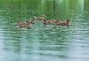Ducks on lake | Stock Foto