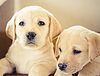Labrador retriever puppy | Stock Foto