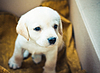 Labrador retriever | Foto de stock