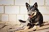 Young german shepherd | Stock Foto