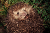 Hedgehog at night | Stock Foto