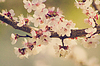 Branch with pink cherry blossoms | Stock Foto