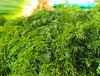 Fresh green fennel | Stock Foto