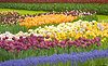 Colorful Dutch tulips in Keukenhof park | Stock Foto