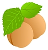 Vector clipart: apricot