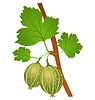 Vector clipart: gooseberry
