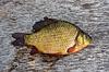 Freshwater fish | Stock Foto