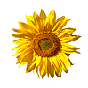 Yellow sunflower | Stock Foto