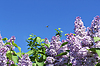 Branches with flowers of pink lilac | Stock Foto