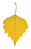 Vector clipart: Leaf of birch