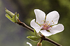Blühender Apfelbaum | Stock Foto