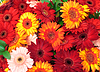 Vibrant Colorful Daisy Gerbera Flowers | Stock Foto