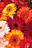充满活力的多彩菊花非洲菊花卉 | 免版税照片