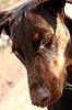 Photo 300 DPI: doberman dog