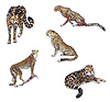 Cheetah | Stock Illustration