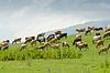 Cows grazing on green field | Stock Foto