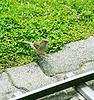 ID 3356935 | Amsel singt für Fütterung | Foto mit hoher Auflösung | CLIPARTO