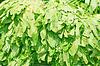 Photo 300 DPI: Sawtooth Coriander - Eryngium foetidum background