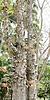 대포 트리 (Couroupita의 guianensis) | Stock Foto