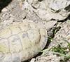 东hermanni乌龟 | 免版税照片