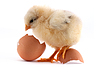 黄小小鸡 | 免版税照片