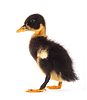 Black small duckling   Stock Foto