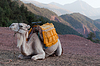 Resting Camel | Stock Foto