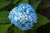 Beautiful blue Hortensia | Stock Foto
