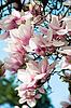 Magnolia blossom | Stock Foto