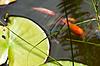 백합 잎, 해외 문화 홍보원과 잠자리 정원 연못 | Stock Foto