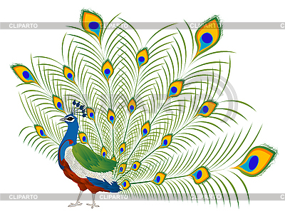 Peacock | Stock Vector Graphics |ID 3010740