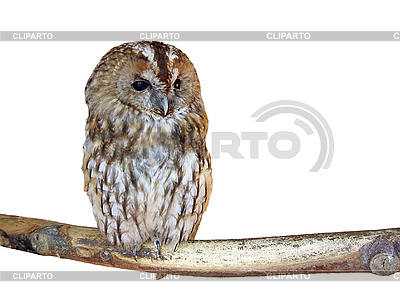 Isolated owl | High resolution stock photo |ID 3010630
