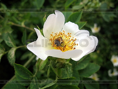 Bee on white briar flower | High resolution stock photo |ID 3010658