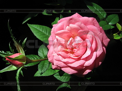 Pink rose flower | High resolution stock photo |ID 3010667