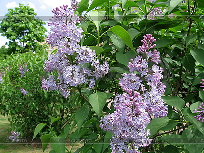 Blossoming lilac brush | High resolution stock photo |ID 3010679
