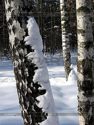 Birken im Schnee | Foto mit hoher Auflösung |ID 3010705