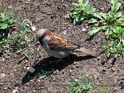 Little sparrow | High resolution stock photo |ID 3010934