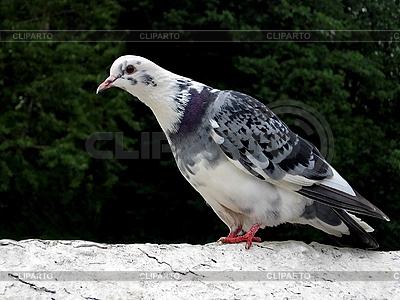 Weiße Taube | Foto mit hoher Auflösung |ID 3010935