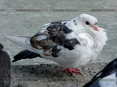 Biały gołąb | Foto stockowe wysokiej rozdzielczości |ID 3010941