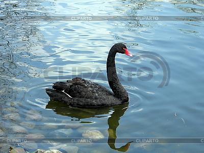 Czarny łabędź pływa na wodzie | Foto stockowe wysokiej rozdzielczości |ID 3010961