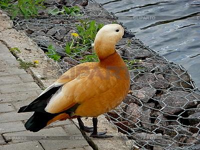 Pomarańczowy kaczka w pobliżu wody | Foto stockowe wysokiej rozdzielczości |ID 3010975