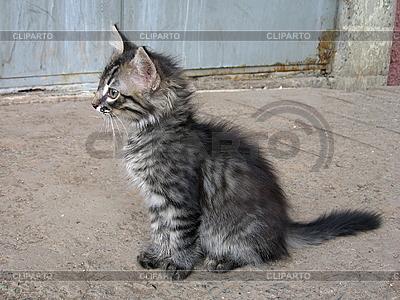 Szary kotek | Foto stockowe wysokiej rozdzielczości |ID 3010989