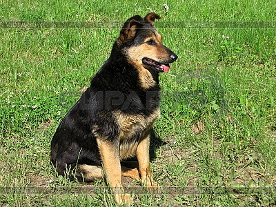 Guarding dog | High resolution stock photo |ID 3010990