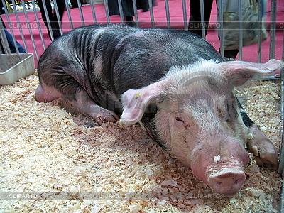 Świnia | Foto stockowe wysokiej rozdzielczości |ID 3011004