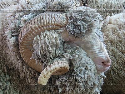 公羊   高分辨率照片  ID 3011005