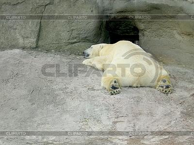 Schlafender weißer Polarbär | Foto mit hoher Auflösung |ID 3011020